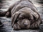 pic of chocolate lab  - Sleeping chocolate labrador puppy - JPG