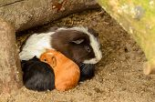 pic of baby pig  - Group of small baby guinea-pigs taking shelter with they