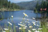 picture of oxen  - Ox eye daisy wild flowers with Salmon Lake, MT in the background
