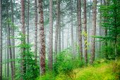 stock photo of morning  - Beautiful pine tree forest - JPG