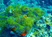 stock photo of clown fish  - Coral reef underwater background - JPG