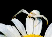 stock photo of goldenrod  - Goldenrod Crab Spider perched on a plant waiting for prey - JPG