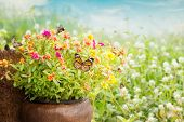 picture of common  - Common Purslane Flower in Jug On Garden Surround By Butterfly - JPG