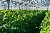image of greenhouse  - A shot of tomato plants growing inside a greenhouse - JPG