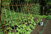 stock photo of green bean  - Organic garden showing healthy bean plants climbing trellis - JPG