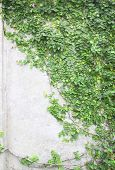 foto of creeper  - The Green Creeper Plant on the Wall - JPG
