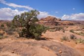 Weathered tree, Corona Arch Trail poster