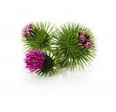 picture of cardo  - thistle flowers isolated on the white background - JPG