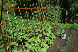 picture of green bean  - Organic garden showing healthy bean plants climbing trellis - JPG