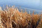 picture of bulrushes  - Dry bulrush on the frozen lake during a nice sunny winter day - JPG