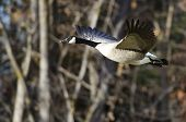 pic of canada goose  - Canada Goose Flying Across the Autumn Woods - JPG