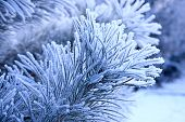 picture of conifers  - Winter landscape the Hoarfrost on a conifer - JPG