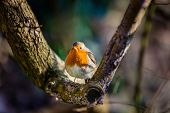 picture of robin bird  - Small robin bird sitting on the branch of a tree - JPG