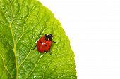 stock photo of ladybug  - ladybug with waterdrops on green leaf isolated - JPG