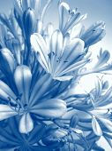 picture of gamma  - Agapanthus flowers closeup photo, in blue gamma