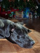 image of great dane  - Black Great Dane napping in front of a Christmas tree - JPG