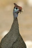 picture of fowl  - An open mouth Guinea Fowl with an open mouth - JPG