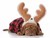 stock photo of rudolph  - christmas puppy  - JPG