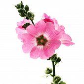 image of hollyhock  - the hollyhock flower isolated on white background  - JPG