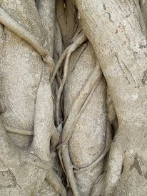 stock photo of twisty  - detail shot of some wooden roots seen in Sri Lanka - JPG