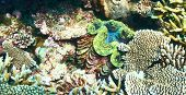 foto of clam  - Giant clam  - JPG