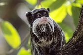 pic of emperor  - Emperor Tamarin looking sat in tree amongst leaves - JPG