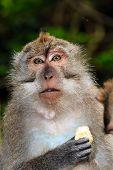pic of crab  - Crab Eating Macaque monkey feeding in Ubud Bali - JPG