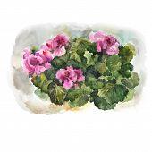 picture of geranium  - Watercolor geranium on brown background - JPG