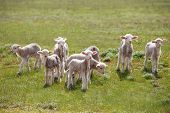 picture of spring lambs  - little lamb in green field - JPG