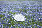 picture of upside  - A white lace parasol sits upside down in a field of Texas bluebonnets - JPG
