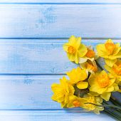 foto of daffodils  - Bright yellow daffodils flowers on blue painted wooden planks - JPG