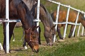 image of herd horses  - Herd of Beautiful Young Horses Graze on the Farm Ranch Animals on Summer Pasture - JPG