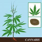 foto of taboo  - hemp plant with the details of flowering and seed - JPG