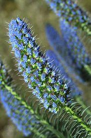 picture of borage  - beautiful flowers echium fastuosum  - JPG
