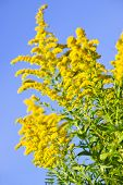 stock photo of ragweed  - Blooming goldenrod plant on blue sky background