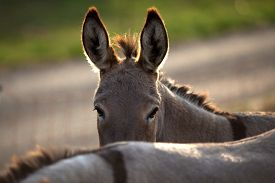 stock photo of headstrong  - funny donkey hide behind his friend and look over his back - JPG