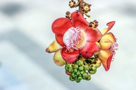 pic of cannonball-flower  - close up Canonball flower in Thailand temple - JPG