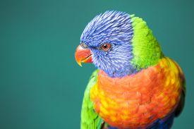 stock photo of lorikeets  - Colorful Rainbow Lorikeet isolated on green background - JPG