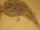 stock photo of crocodilian  - fossil crocodilian steneosaurus 150 million years old - JPG