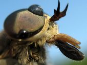 picture of gadfly  - The gadfly which has a little got wet - JPG