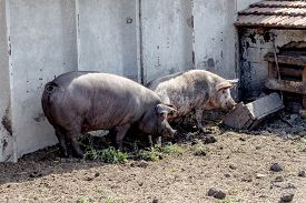 foto of boar  - Wild boar hunting in the aviary - JPG
