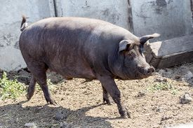 stock photo of boar  - Wild boar hunting in the aviary - JPG