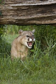 picture of cougar  - Cougar snarling from his spot under a fallen log - JPG