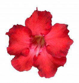 stock photo of azalea  - Desert Rose or Impala Lily or Mock Azalea flower isolate on white - JPG