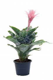 picture of bromeliad  - Bromeliad in flower pot isolated on white background - JPG