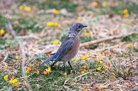 picture of bluebird  - Western Bluebird perched on meadows with yellow and orange flowers - JPG