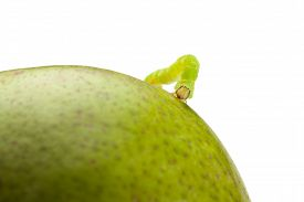pic of inchworm  - Macro of looper on green pear isolated on white - JPG