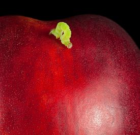 image of inchworm  - inchworm on red ripe peach isolated on black - JPG