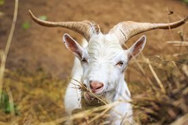 foto of goat horns  - domestic goat with big horns chew hay - JPG