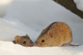 foto of field mouse  - Couple of kissing Striped Field Mice  - JPG